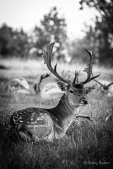 Male Deer (JKmedia) Tags: autumn male nature grass animal waiting estate wildlife relaxing horns september deer antlers spots resting grassland nationaltrust herd fallow antler 2015 dyrhampark bidingtime hoofed canoneos5dmkiii boultonphotography