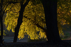 DSC_3542a (Fransois) Tags: park morning light tree fall automne montréal lumière stainedglass vitrail translucent arbre parc parclafontaine matin translucide