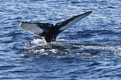 _DSC1174 (TC Yuen) Tags: glacier arctic greenland whales iceberg crusing floatingice polarregion greenlandeast
