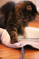 Action (Annica Spjuth) Tags: action jakt katt fotosondag fs151108