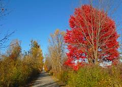 Red along the Macomb Orchard Trail (Larry the Biker) Tags: autumn red tree fall leaves bikepath maple path michigan fallcolors trail pathway railstotrails railtrail biketrail trailway washingtontownship macomborchardtrail