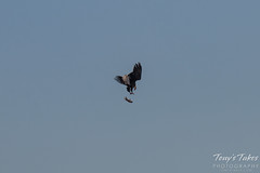 Bald Eagles Battle in the Air - 7 of 12