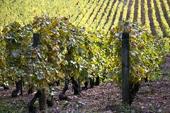 Couleurs d'automne (yannlebulot) Tags: automne vignes feuilles solutre maconnais