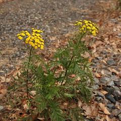 Strange yellow things (Vox Sciurorum) Tags: flower yellow massachusetts newton tansy sigma35mmf14