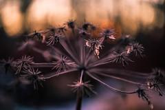 . (sedregh) Tags: november autumn sunset fall bokeh herbst abendsonne