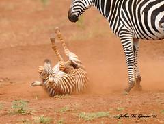 JHG_5938-b Zebra foal frolicking in the red dust of Tsavo West with Mom looking on. Kenya. (GavinKenya) Tags: africa wild nature animal june john mammal photography gavin photographer kenya african wildlife july grand safari dk naturephotography kenyasafari africansafari 2015 safaris africanwildlife africasafari johngavin wildlifephotography kenyaafrica kenyawildlife dkgrandsafaris africa2015 safari2015 johnhgavin