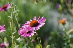 Ringelblume (izzieLiving) Tags: pink bokeh sommer westpark helios blüten