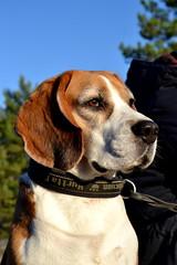 Morris (axelinaknoppel) Tags: portrait dog cute beagle beautiful nikon pretty hound hund morris portrtt st nikond3100