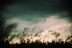 tama river (N.sino) Tags: nimbus crow  riverbeach    japanesesilvergrass  xt1  nokton50mmf11