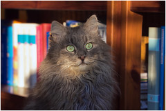 The Librarian (FocusPocus Photography) Tags: pet animal cat chat books gato katze haustier kater tier fynn bcher fynnegan