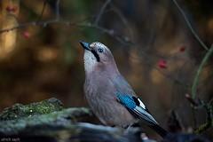 Eichelhher, Garrulus glanarius (Weinstckle) Tags: rabenvogel eichelhher hher garrulusglanarius
