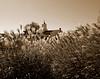 P1000703.edit1 (tcelli) Tags: sepia reeds steeple panasoniczs3