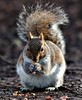 Nuts (tyrer.steven) Tags: life wild animal wales squirrel nutts cosmertonlake steventyrer