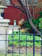Deer at Southport and Addison (southportcorridorchicago) Tags: city urban chicago retail shopping corridor deer cubs wrigley lakeview southport wrigleyville southportcorridor