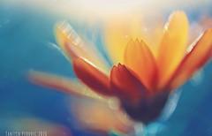 November Sunset (Tanjica Perovic) Tags: macro flower petals orange marigold calendulaofficinalis backlit sunrays blue contrast soft delicate fragile ethereal sublime light vibrant bright