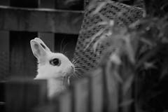 Waskley (katatomicuk) Tags: 39365 rabbit whiterabbit
