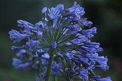 Agapanthus (E&T - Photography) Tags: canon 1200d 18200mm flower plant netherlands holland nederland bloem agapanthus color mood purple lilac lila africanus macro closeup et dark green evening shot dusk dawn twilight blue