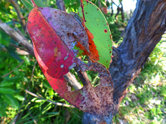 Red and green (jo.elphick) Tags: durras australia nsw gumtreeleaves gumtree leaves green red