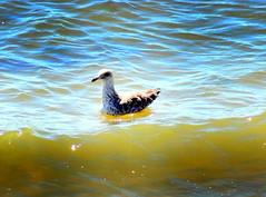 Yes, We Can: Fly, Swim, Walk... (dimaruss34) Tags: newyork brooklyn dmitriyfomenko image manhattanbeach bird gull