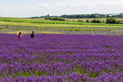 Waist deep lavender (oliyh - facebook.com/oliverhinephotography) Tags: farm fields hitchin lavender