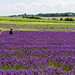 Waist deep lavender