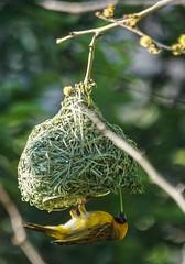 Nest Building (paulinuk99999 - just no time :() Tags: paulinuk99999 bird south africa pretoria common masked weaver yellow upside down nest building grass leaf sal70400g