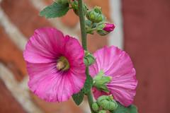 Hollyhock (Infomastern) Tags: klostertrdgrden ystad blomma flower hollyhock stockros