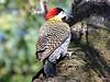 DSC_0083 (RachidH) Tags: birds oiseaux woodpecker pic greenbarredwoodpecker colaptesmelanochloros picvertetnoir carpinterorealnorteño bosquesdepalermo palermo woods buenosaires argentina rachidh nature