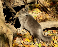 fall afternoon in the woods (judecat (back with the pride)) Tags: feline longhairedgreycat cat fall autumn colorfulleaves sally