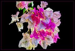 Bougainvillea Paperflower ... (scorpion (13)) Tags: bougainvillea blossom flower bush nature color creative photoart frame holiday tazacorte la palma paperflower walk around