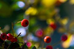 Colores del Otoo (marcus turkill) Tags: autumn otoo nikon nikond3300 macro macrofotografia macrophotography bayas berries