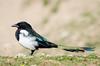 Magpie (Esmaeel Bagherian) Tags: زاغی پرندگانایران پرندهنگری اسماعیلباقریان تامرون نیکون پرندگان پرنده 2016 esmaeelbagherian bird birdsofiran birdsphotography birdwatching 1395
