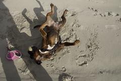 Boxer Marly op het strand van Ameland Nederland 09-10-2016 (marcelwijers) Tags: boxer marly beach ameland the netherlands op het strand van nederland 09102016