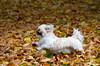 Happy Dog (Mukumbura) Tags: dog autumn leaves sprinting running jumping fun romp