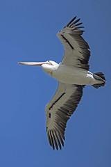 The Peli-can Fly (Geoffsnaps) Tags: nikond810 nikon d810 fx nikonnikkor200500mmf56eedvrafs nikkor 200500mm f56e ed vr afs gitzogm5541carbonmonopod gitzo gm5541 carbon monopod acratechpanoramichead monopodhead acratech panoramic head 9 bjelke petersen dam bjelkepetersendam water reservoir feathers pelican flight flying queensland australia bird