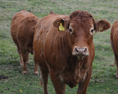 Jade (lcfcian1) Tags: warwickshire cow bull animal nature field looking jade tag brinklow