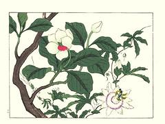 Oyama magnolia and blue passionflower (Japanese Flower and Bird Art) Tags: flower oyama magnolia sieboldii magnoliaceae passionflower passiflora caerulea passifloraceae hoitsu sakai kiitsu suzuki kimei nakano nihonga woodblock picture book japan japanese art readercollection
