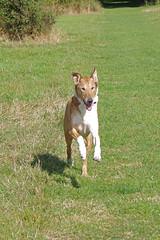Coming Back (Lil Shepherd) Tags: dogs bren walthamabbey