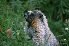 Mt. Revelstoke National Park - Murmeltier (astroaxel) Tags: kanada british columbia mt revelstoke national park murmeltier