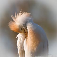 Héron garde-boeufs (gilbert.calatayud) Tags: bubulcusibis westerncattleegret bird oiseau héron gardeboeufs ardéidés pélécaniformes camargue pont de gau