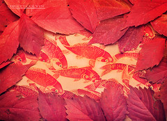 SkarHanks Koi Handkerchief (Fly to Water) Tags: professional product photography edc hank handkerchief skarhanks skar hanks every day carry fall leaves red koi fabric