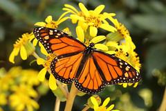 Monarch - Danaus plexippus (Roger Wasley) Tags: monarch milkweed danausplexippus asclepia northamerica mexico canaryislands africa lapalma losllanos botanicalgarden butterflies spain spanish europe european