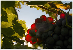 Herbstfarben (MaLiHo68) Tags: canon750 autumn herbst trauben wein vineyard wine natur farben colours grapes nature
