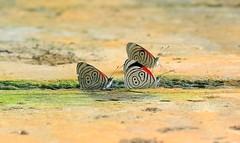 Diaethria Clymena - Butterfly 88 / 89 - Mariposa 88 / 89 (Varblove) Tags: nature naturaleza mariposa butterfly 88 colombia santa maria boyac animals beautiful maravilla diaethriaclymena sanluisdegaceno