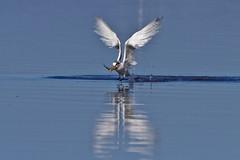 trinta ris de bando - Thalasseus acuflavidus (Luiz Baroni Junior) Tags: 2012 ano apadeguapimirim aves baiadeguanabara cidade guapimirim lugares riodejaneiro trintarisdebandothalasseusacuflavidus