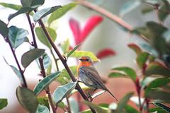 Rouge-gorge familier (Mariie76) Tags: animaux oiseau passereaux rouge gorge familier tte orange erithacus rubecula automne feuilles colores branches nature verdure perch curieux intrigu