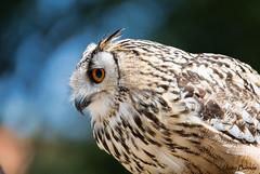 Eurasian eagle-owl (Bubo bubo) (JOAO DE BARROS) Tags: bubobubo bird zoo animal joo barros portrait
