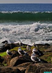 GrandJettyGulls (mcshots) Tags: usa california socal losangelescounty coast beach seabirds nature wildlife animals birds feathers ocean sea water autumn stock mcshots gulls seagulls jetty rocks