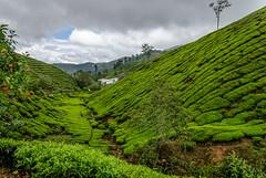 Boh tea fields (Dave '65) Tags: 500px boh cameronhighlands malaysia photocrowd tea teaplantation