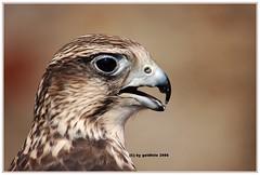 Der eindrucksvolle Falke...The impressive Falcon (kh goldfoto) Tags: falke greifvgel nikon